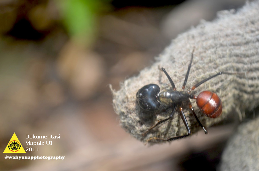 Semut besar yang ditemukan ketika tim menjelajah hutan TNBBS.